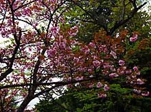 八重桜も咲いてました(長尾台)