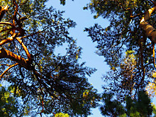 立派な松林