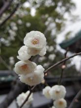 梅の花は白が好き