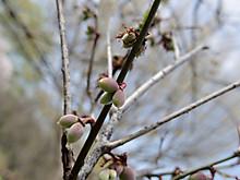 梅の実の赤ちゃん