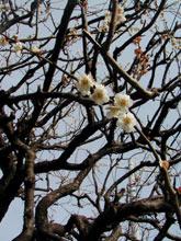 これは我が家の梅の花